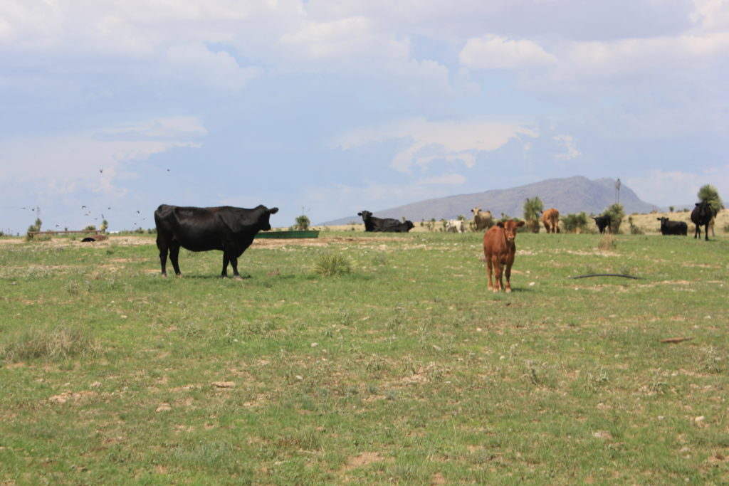 livestock grazing on land for sale